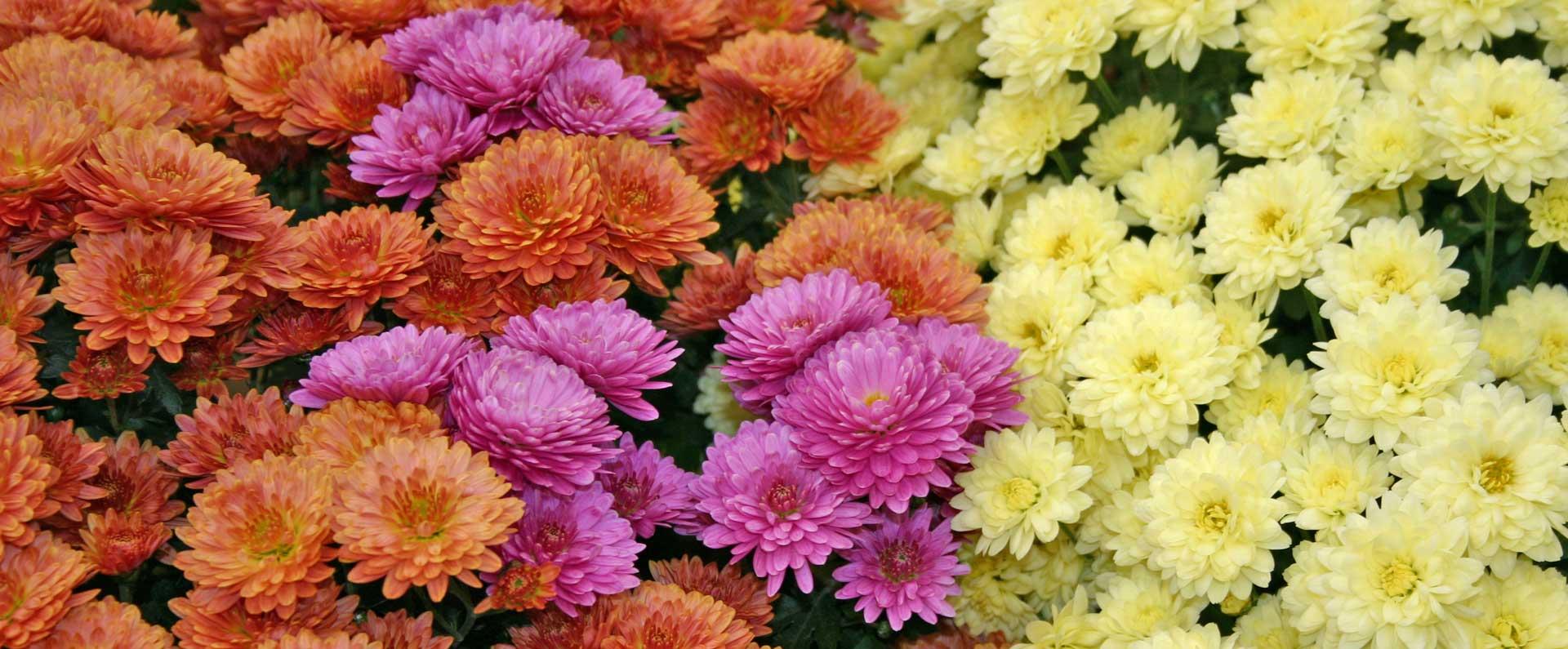 Slide-toussaint-chrysanthème-aloé-4