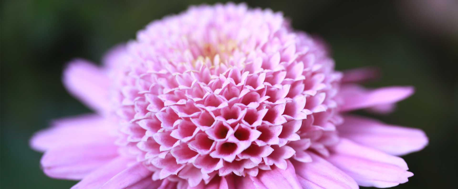 Slide-toussaint-chrysanthème-aloé-3